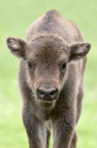 reintroduccion-del-bisonte-europeo-en-la-Península-Polonia