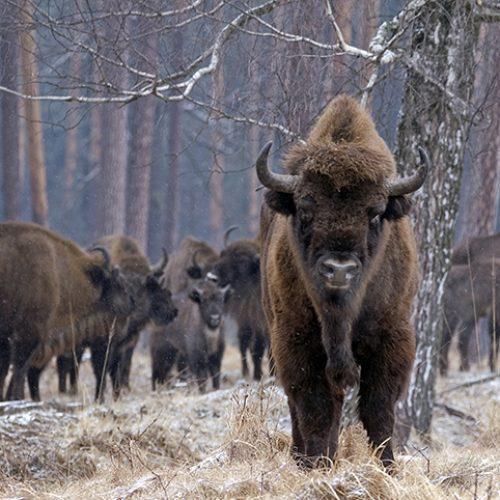 Reintroduccion del bisonte europeo en la Península
