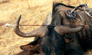 Caza-con-arco-reportajes-tipos-de-flechas-y-puntas-para-caza-mayor-nu-azul