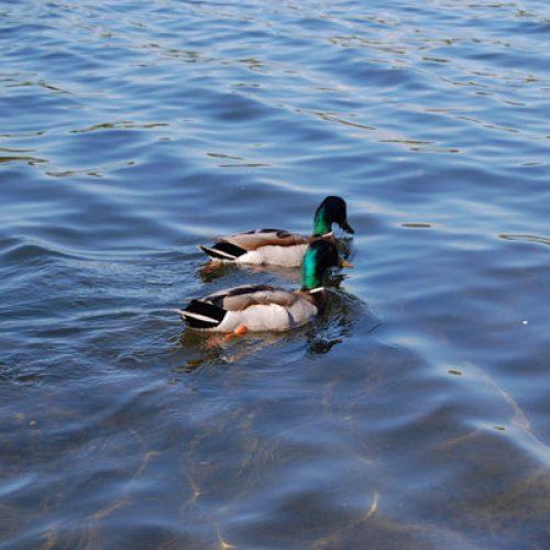 UNAC preocupada por el exceso de celo de la Administración por la gripe aviar