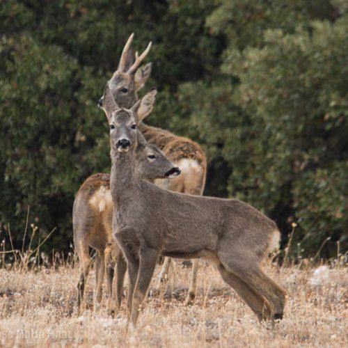 Jornada formativa sobre el conejo de monte y el corzo en Lugo