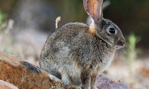 EL Conejo ¿Cómo recuperarlo?