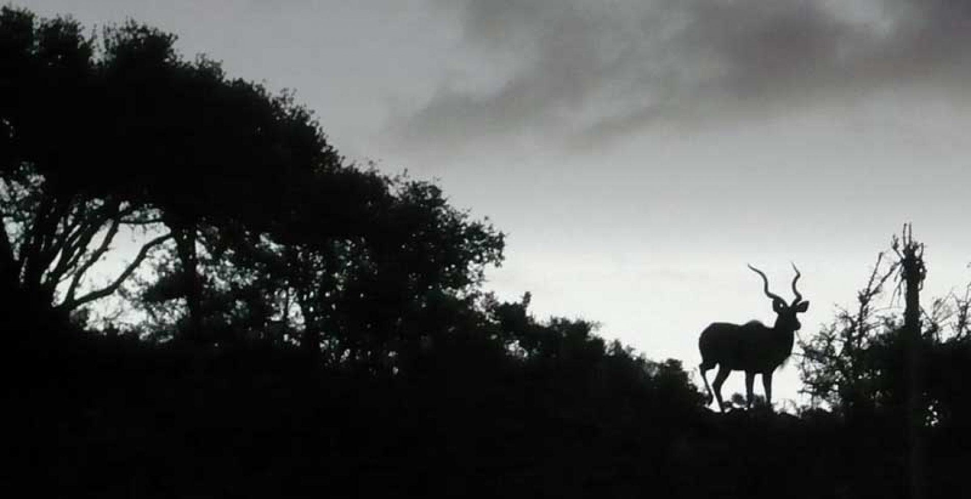 """La difícil y peligrosa caza de los 4  antílopes """"espiralados"""" del Cabo"""