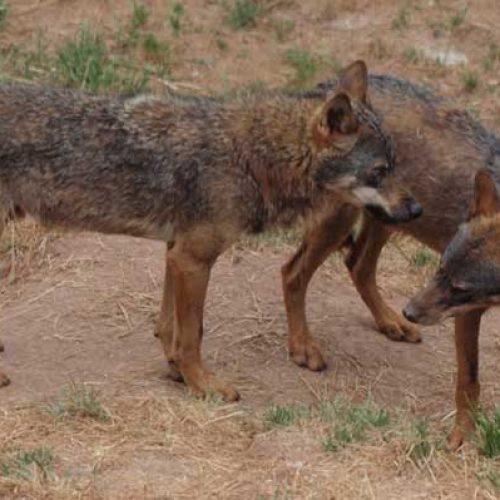 Lobos, un problema en constante expansión.