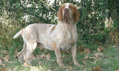 El Pachón Navarro, sus enfermedades y soluciones veterinarias