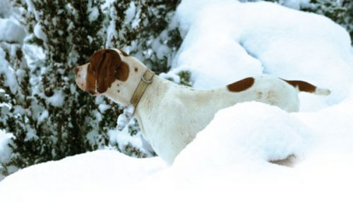 ¿Qué enfermedades sufren los perros de caza a causa del frío?