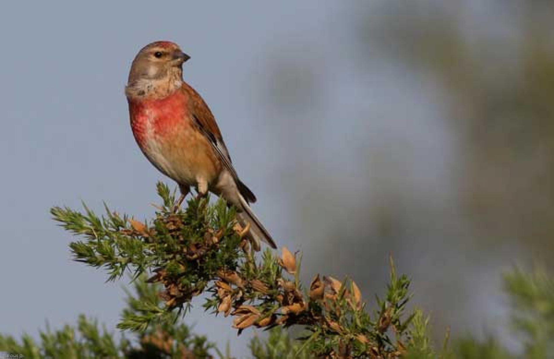 ONC denuncia la prohibición de capturas de silvestrismo en varias regiones