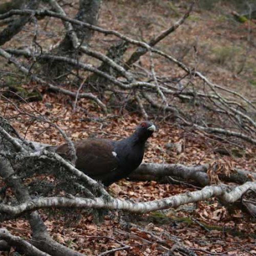 Los cazadores colaboran en la conservación del urogallo