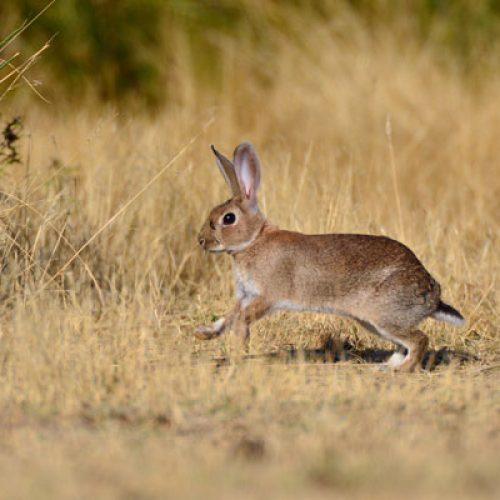 ¿Es posible recuperar el conejo en un coto sin repoblar?
