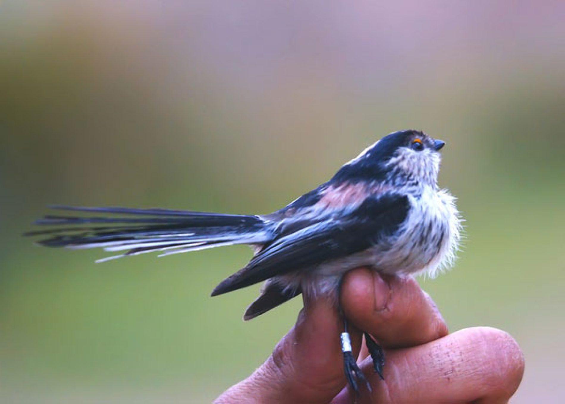 La ONC pide a los cazadores, que le remitan las anillas de aves