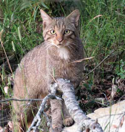 Caza-a-larga-distancia-gato