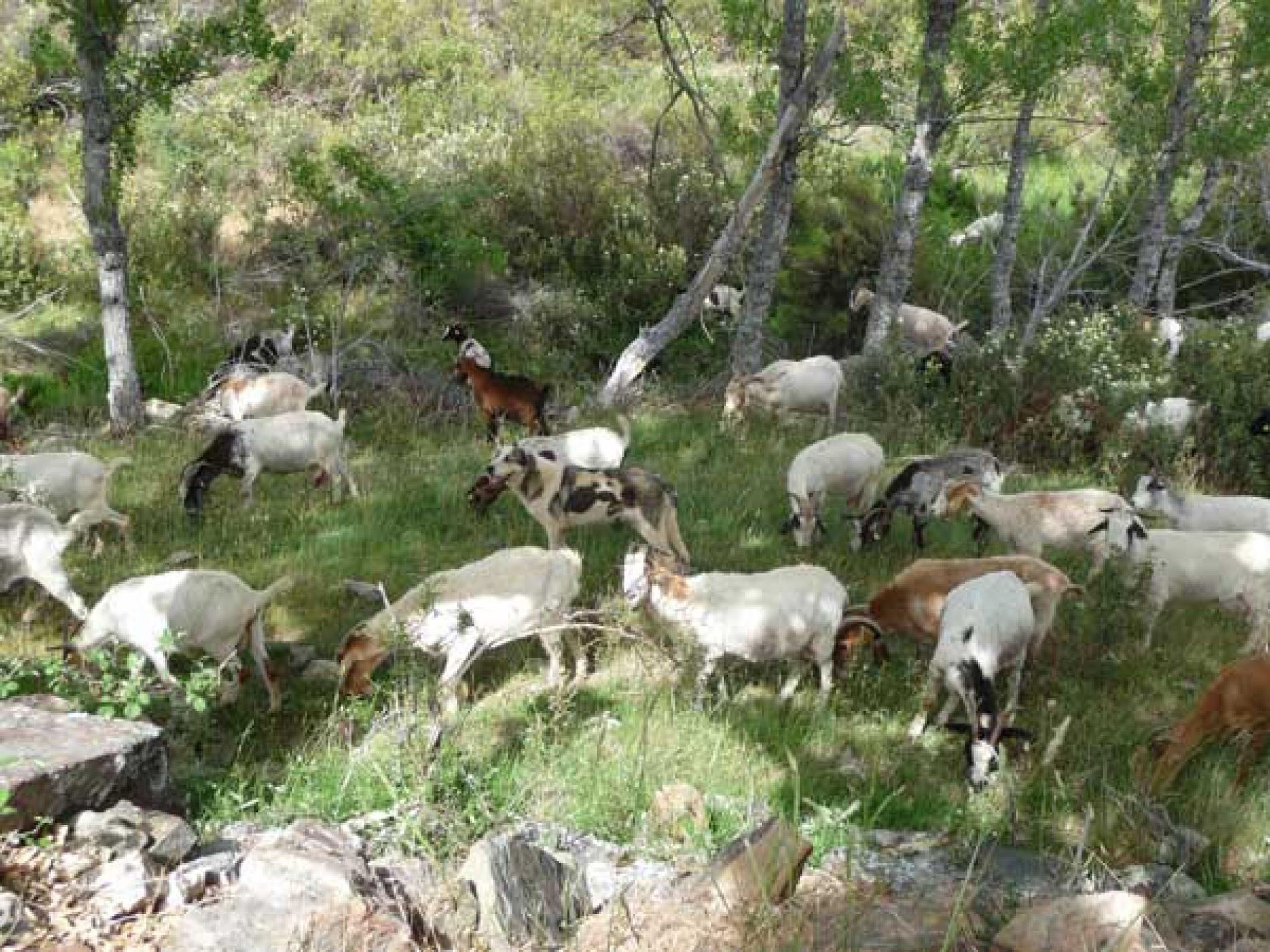 La Junta de Castilla-La Mancha condenada a pagar a un ganadero por ataque de lobos