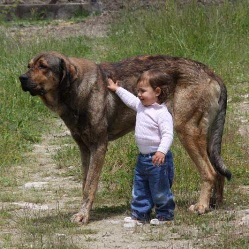 ¿Cómo influye el tamaño en los perros de caza?