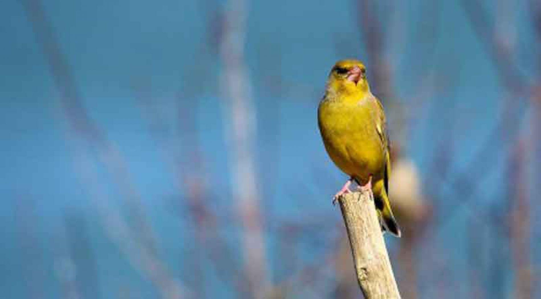 Los silvestristas condenan el furtivismo y la captura ilegal de aves