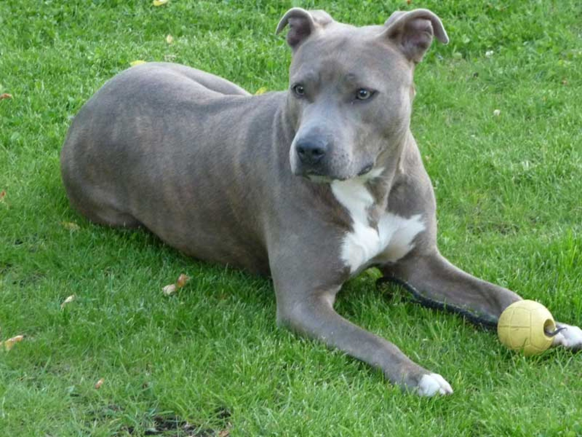 Perros potencialmente peligrosos ¿Necesito licencia para tenerlos?