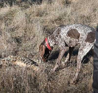 perros de caza contra el veneno gato