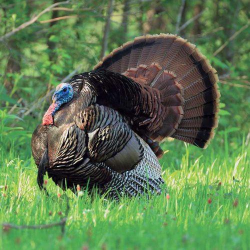 La caza del pavo salvaje, una pasión norteamericana