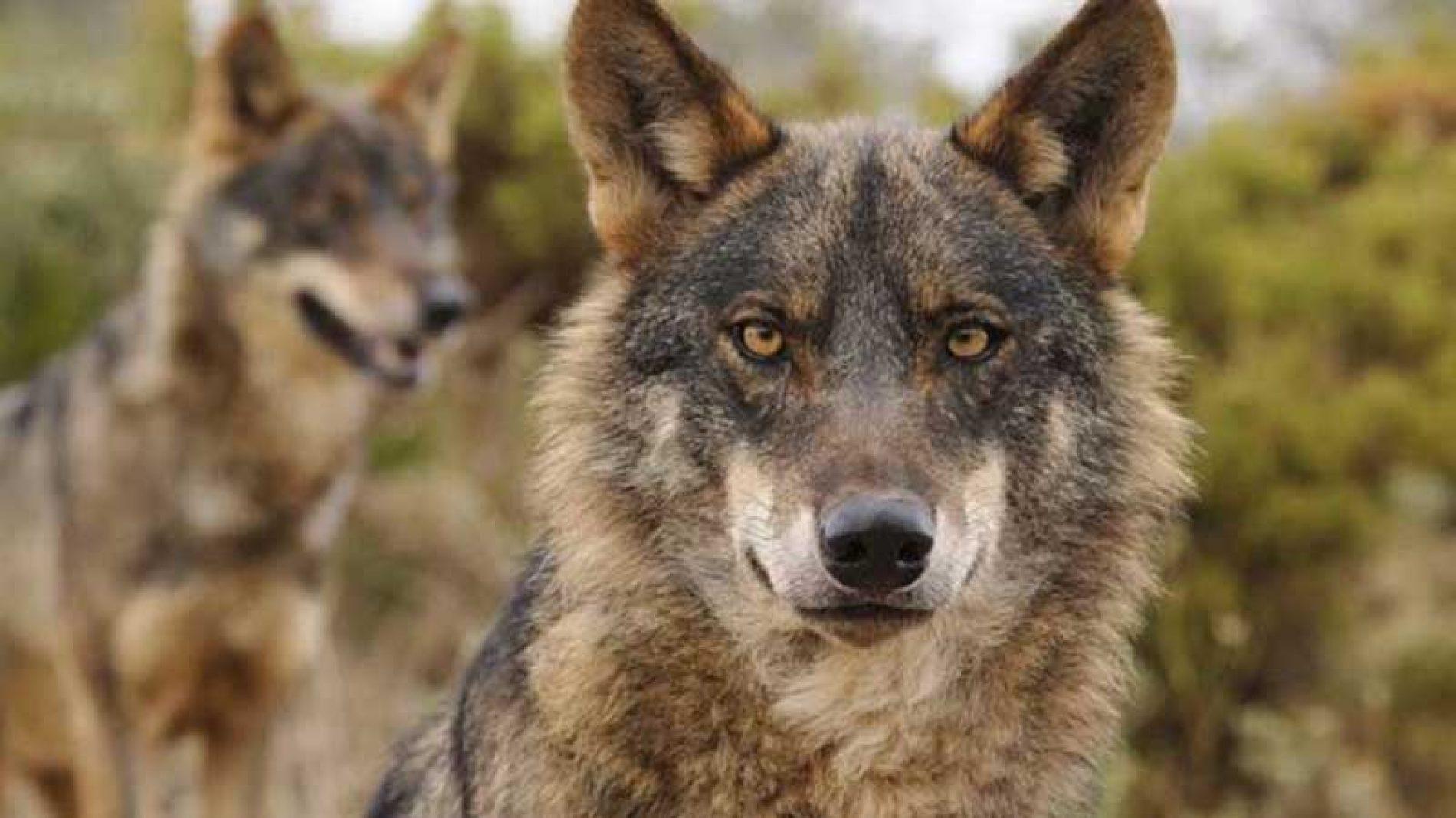 La Fundación Artemisan defiende el sistema actual de gestión del lobo