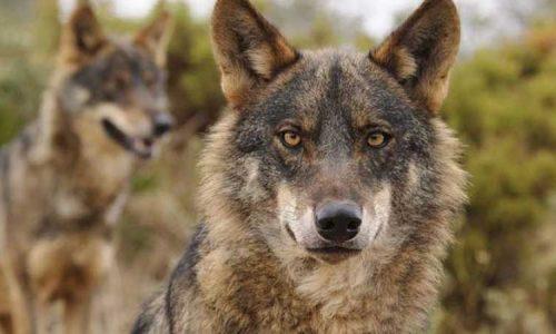 Desestimado el recurso del PACMA para suspender el control de lobos