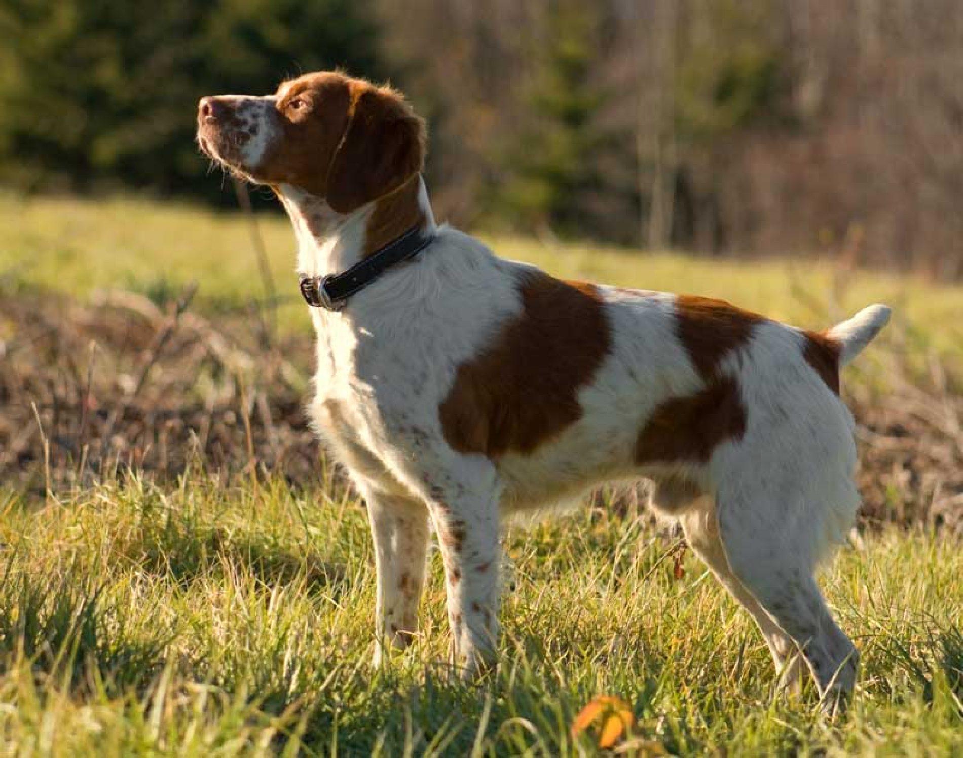 ¿Es el olfato lo más importante en un perro de caza?