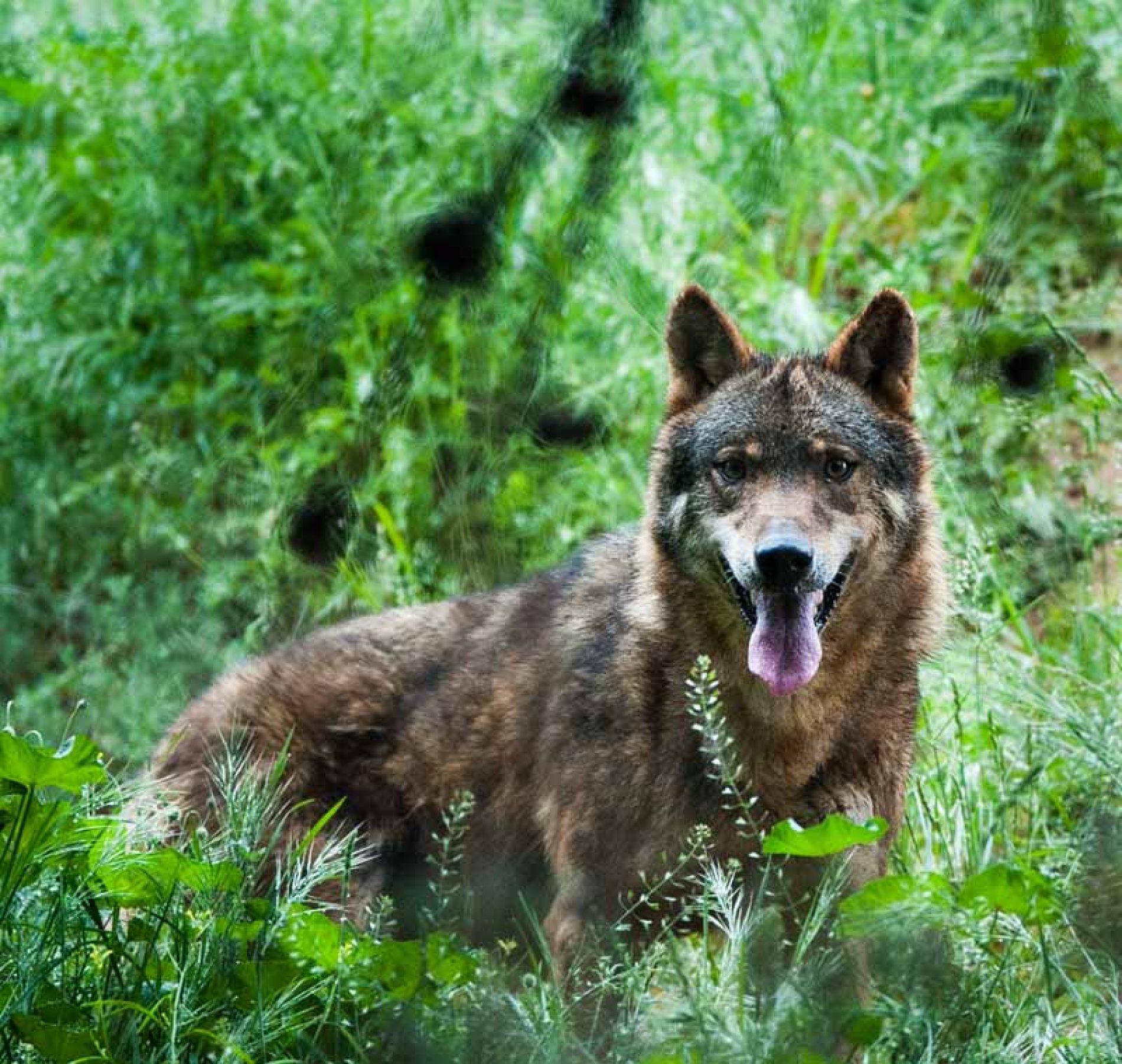El gobierno de Cantabria mantiene al lobo como especie cinegética