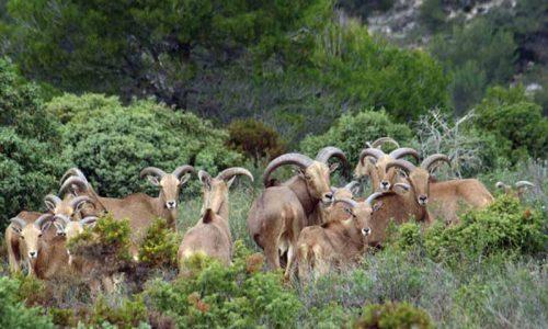 Artemisan solicita la descatalogación del arruí como especie invasora