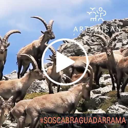 Artemisan denuncia daños en Guadarrama por la sobrepoblación de cabra montes