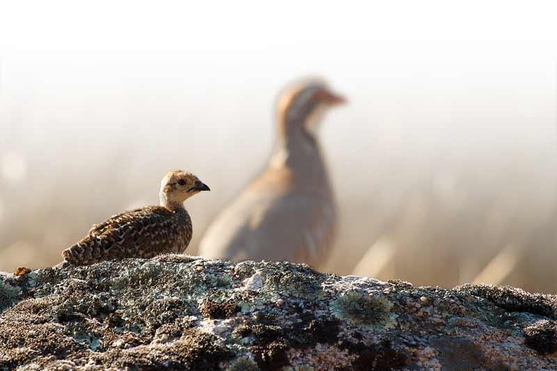 fechas-caza-aves
