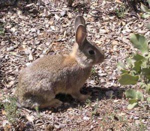 Desarrollo-de-crias-de-menor-conejo