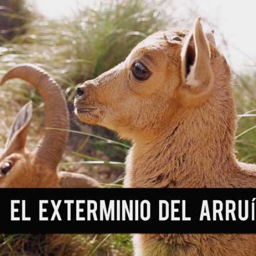 La presión de Artemisan puede frenar el exterminio del Arruí