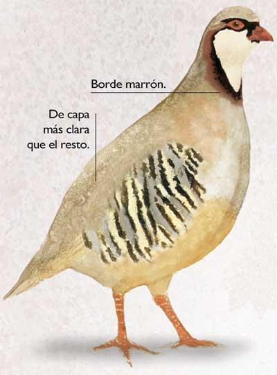 ilustracion-perdiz-magna