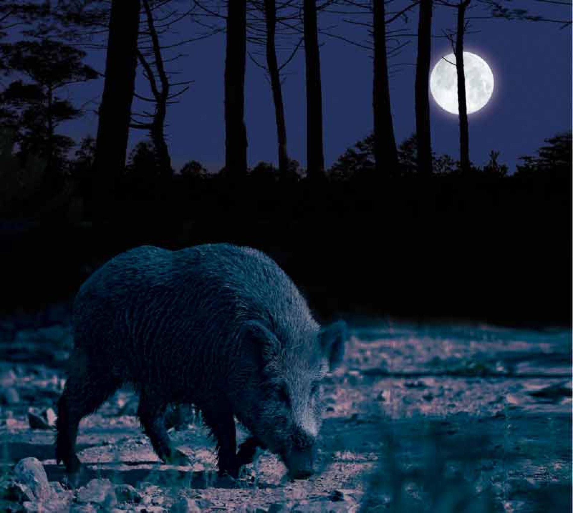 El rececho nocturno de jabalí vs. La espera