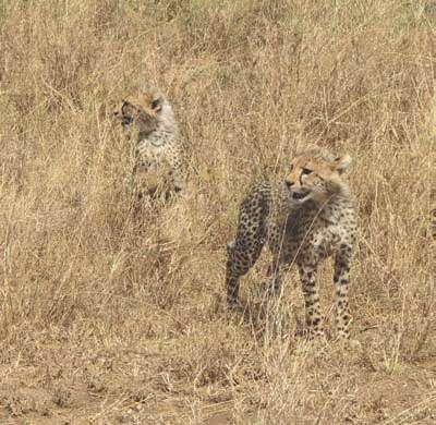 2-Cheeta