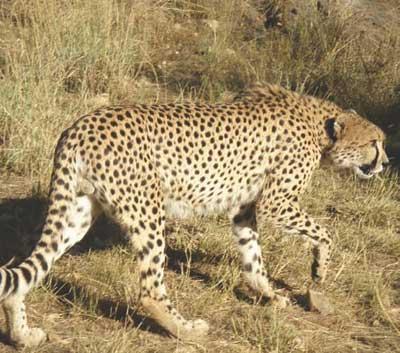 Cheeta_peque