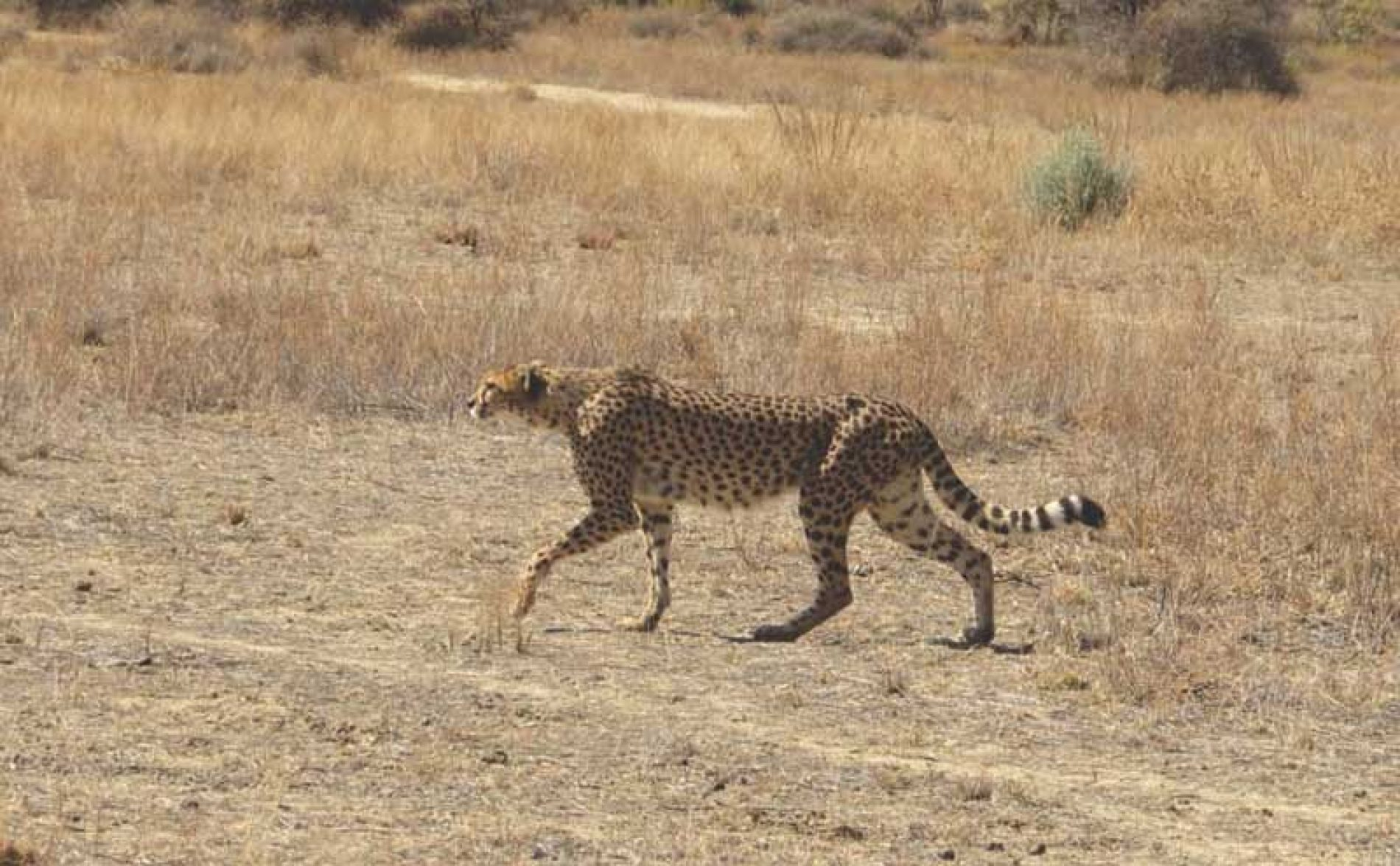 "Cheeta. La difícil caza del ""Misil"" africano en Namibia"