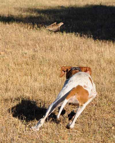 Codornices-perro
