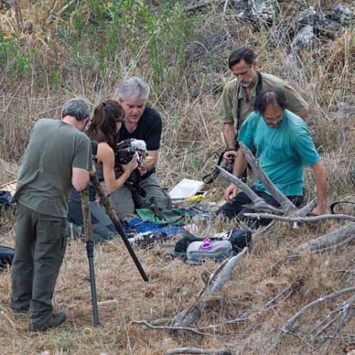 Confirmada la relevancia de las crías de corzo en la dieta de las águilas reales