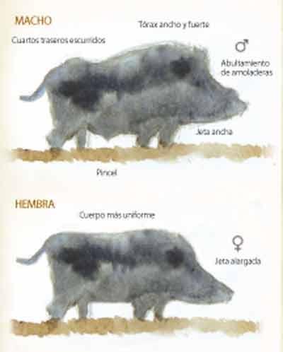Rececho-vs-espera-jabali-macho-hembra