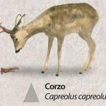 Reserva-Alt-Pallars-corzo