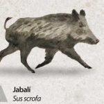 Reserva-Alt-Pallars-jabali