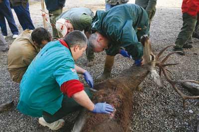 Tuberculosis-del-ciervo-ciervo-tomando-muestras