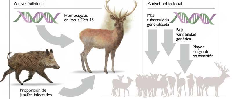 Tuberculosis-del-ciervo