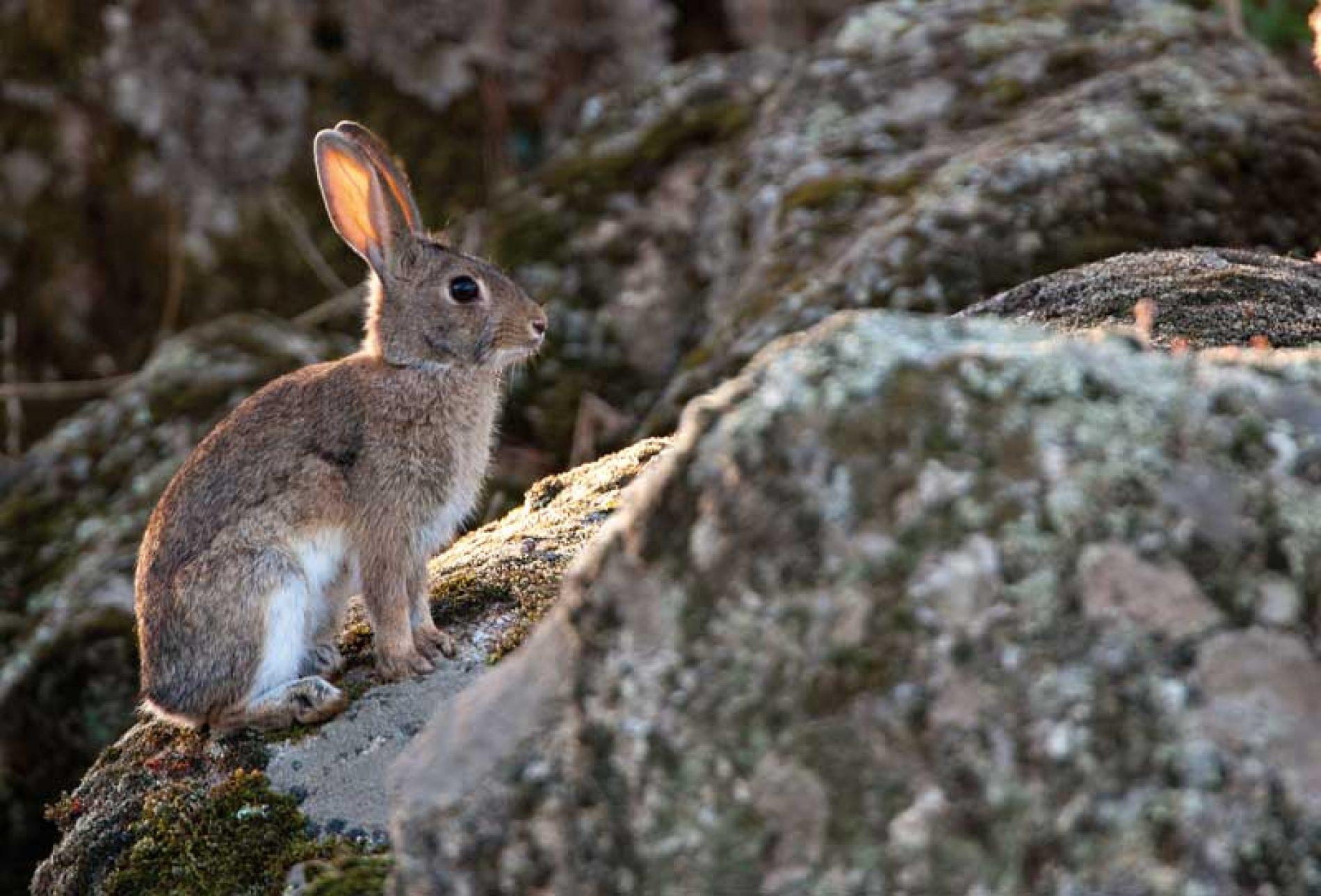 Cómo es el ciclo de vida del conejo de monte