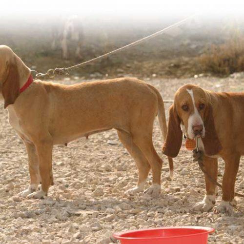 El perro de caza y la insuficiencia renal, sintomas y tratamiento