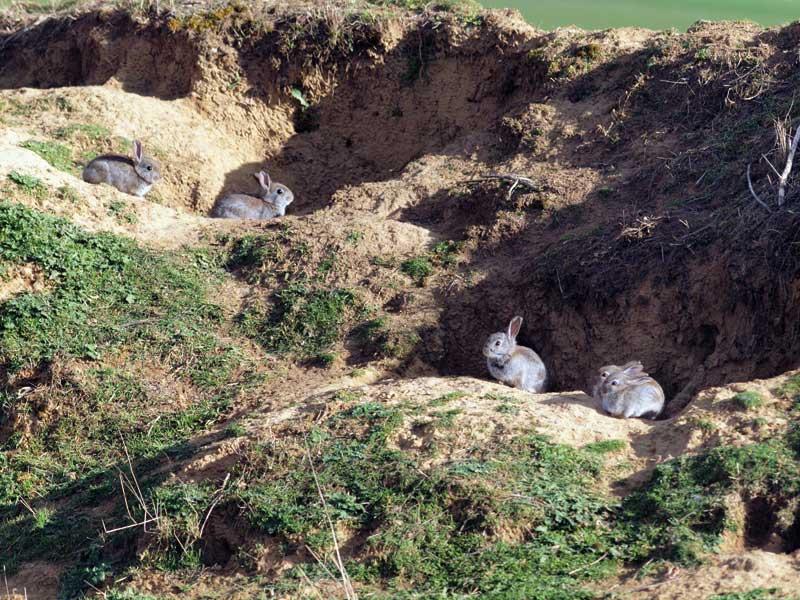 recuperar-conejo-madrigueras