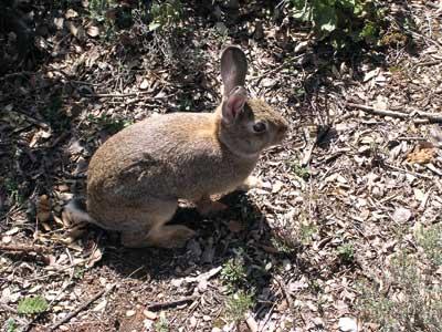 recuperar-conejo-predadores