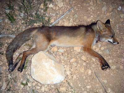 Eficacia-del-primer-disparo-zorro