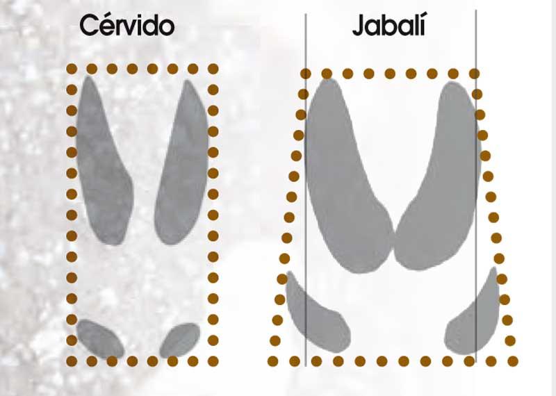 Huellas-y-rastros-jabali-CERVIDO