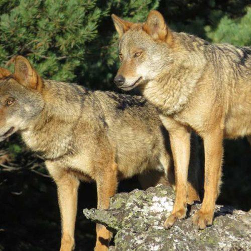 3 Mentiras de WWF sobre el lobo en asturias