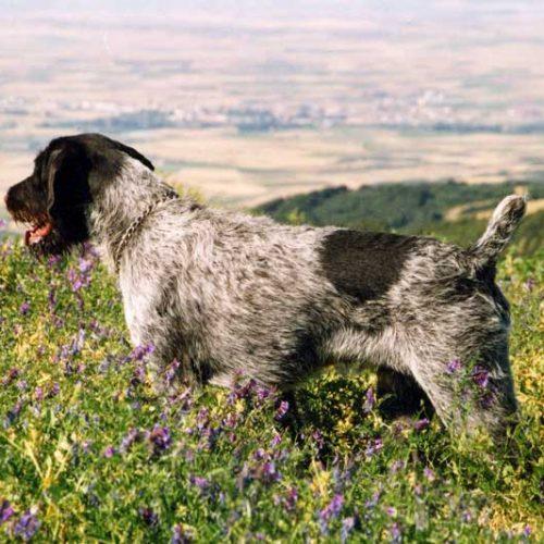 ¿Por qué el corte del rabo a un perro de caza puede ser beneficioso?